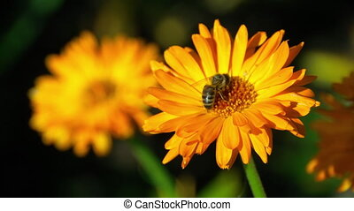 Bee on a orange marigold