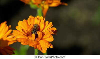 Bee on a orange marigold