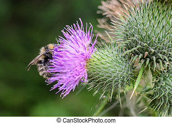 Bee on a purple flower thistle copy space