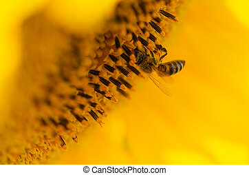 Bee on a sunflower in summer.