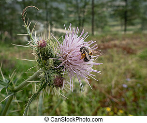 Bee on a Thistle Flower