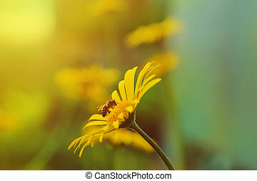 Bee on a yellow daisy in sunset background.
