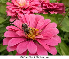 Bee on a Zinnia