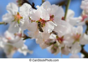 bee on almond tree flower