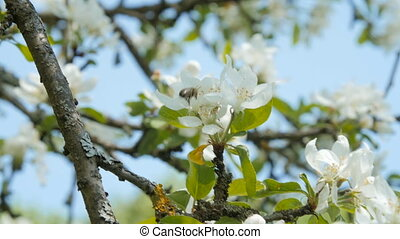 Bee on an apple tree blossom.