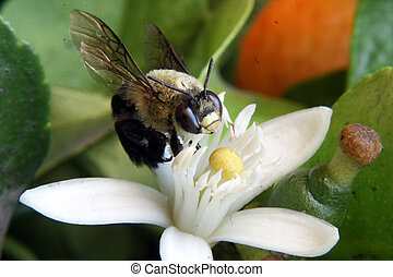 A honey bee pollinating an orange blossom on a tree in an orchard in Cotacachi, Ecuador