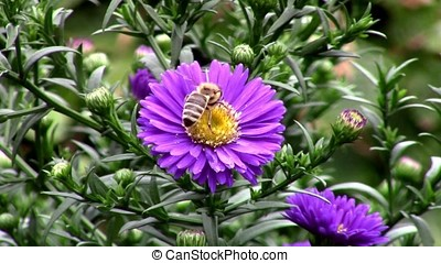 Bee on aster flower in the garden
