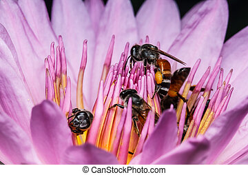 Bee on beautiful lotus