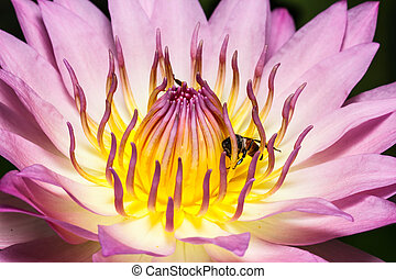 Bee on beautiful lotus
