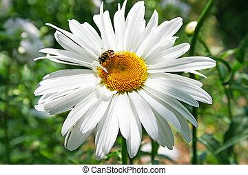 Bee on camomile flower