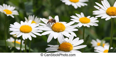 Bee on camomile.