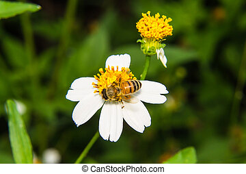 Bee on camomile