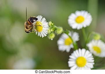 Bee on camomile