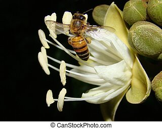Bee On Carob Tree Flower - A bee collecting nectar from the...