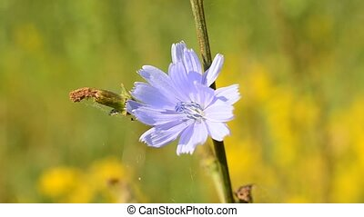 Bee on chicory flower collects pollen and flies away