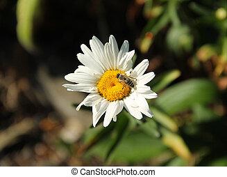 bee on daisy wheel