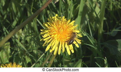 Bee on dandelion.