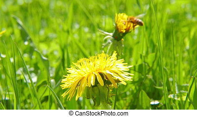 Bee on dandelion, close-up