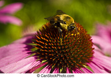 Bee on Echinacea flower close up