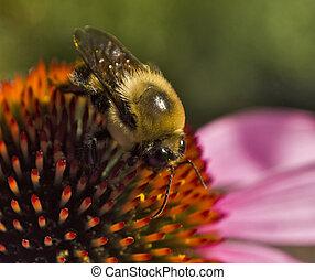Bee on Echinacea flower extreme close up