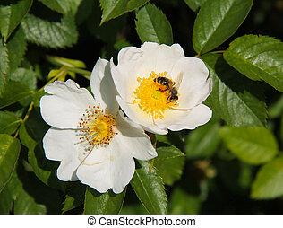 bee on eglantine blooms - close photo of a bee feeding on ...