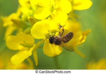 bee on field mustard