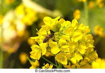 bee on field mustard