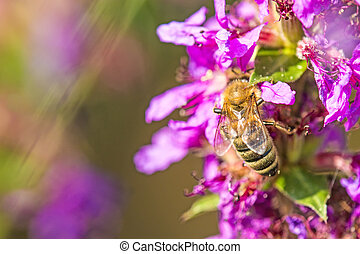 bee on flower of a purple loosestrife
