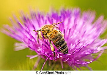 bee on flower of a thistle