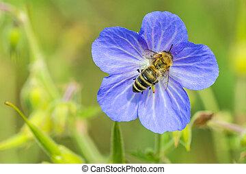 bee on flower of meadow geranium
