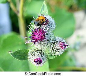 Bee on flower of the thistle