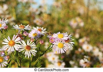 Bee on flower. Olearia flowers