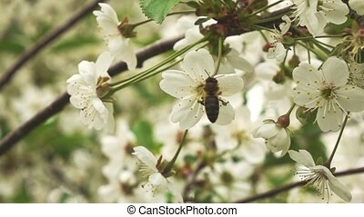 bee on flower, slow motion - Bee collect pollen for honey...