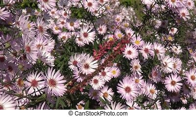 Bee on flowers (aster novi-belgii). - Bee collects honey on ...