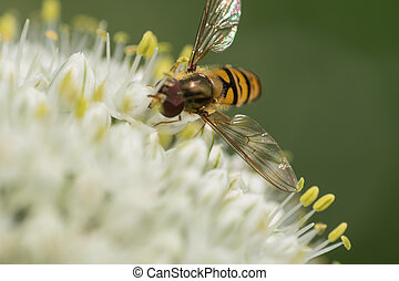 bee on garlic flower