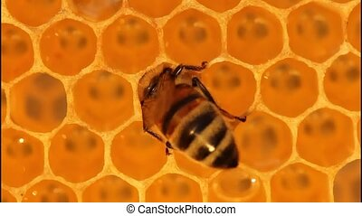 Bee on honeycomb - Bees convert nectar in honey