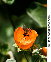 Bee on Indian Mallow