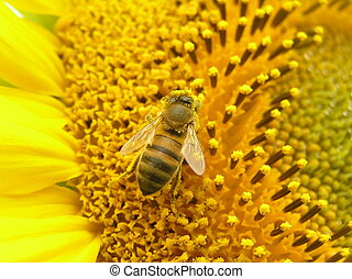 Bee on inflorescence of sunflower.