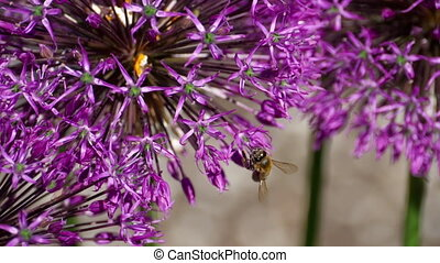 Bee on onion flowers - A bee pollinating an onion flowers,...