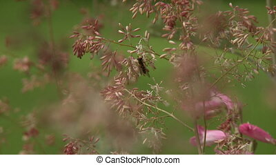 Bee On Pink Penstemon Bush - Steady, medium close up shot of...