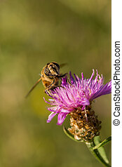 Bee on pink thistle