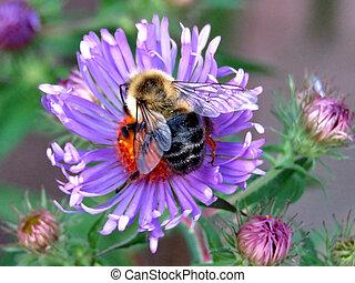 Bee on purple wild aster