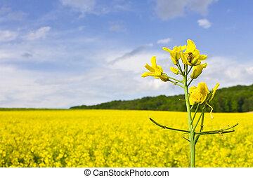 Bee on rape flower - Bee on yellow flower in rape field