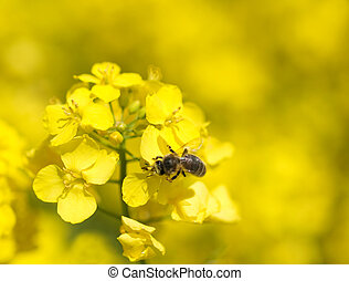 Bee on rapeseed  - Macro of a bee on a rapeseed plant