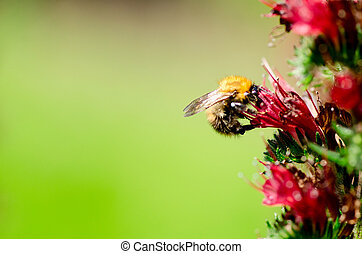 Bee on red flowers