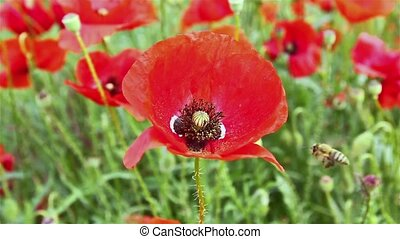 Bee on red poppy flower, pollinatio