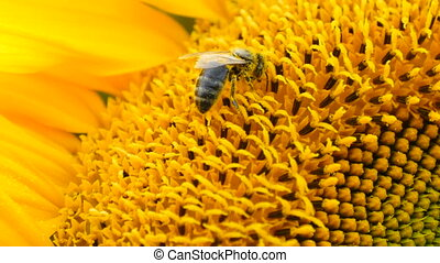 Bee on sunflower close-up