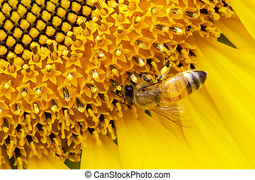 Bee on sunflower closeup, Find sweet water