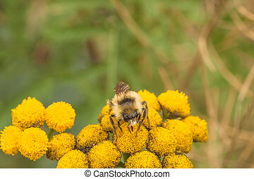 Bee on Tansy Flower