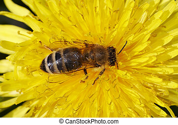 bee on the bloom - Detail (close-up) of the honeybee with ...